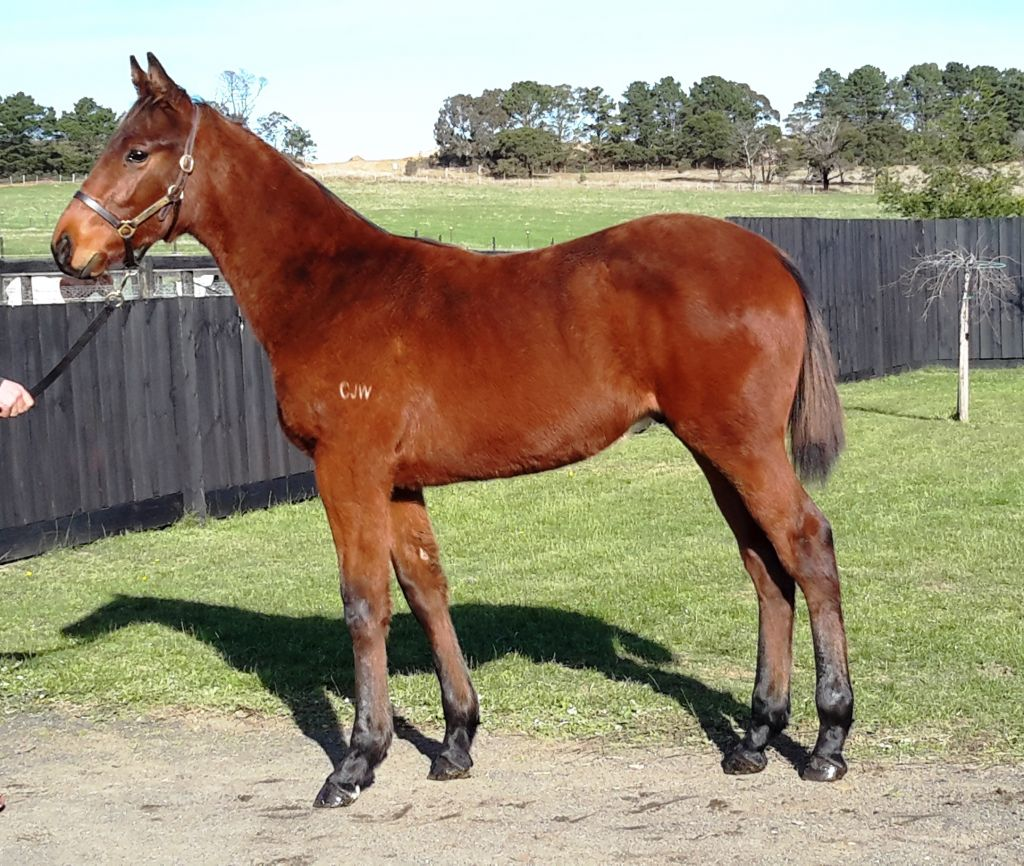 Inglis 2016 Great Southern Sale Home Andrew Smith Dusty Blue Jeans Biru 38 Passed In Lots