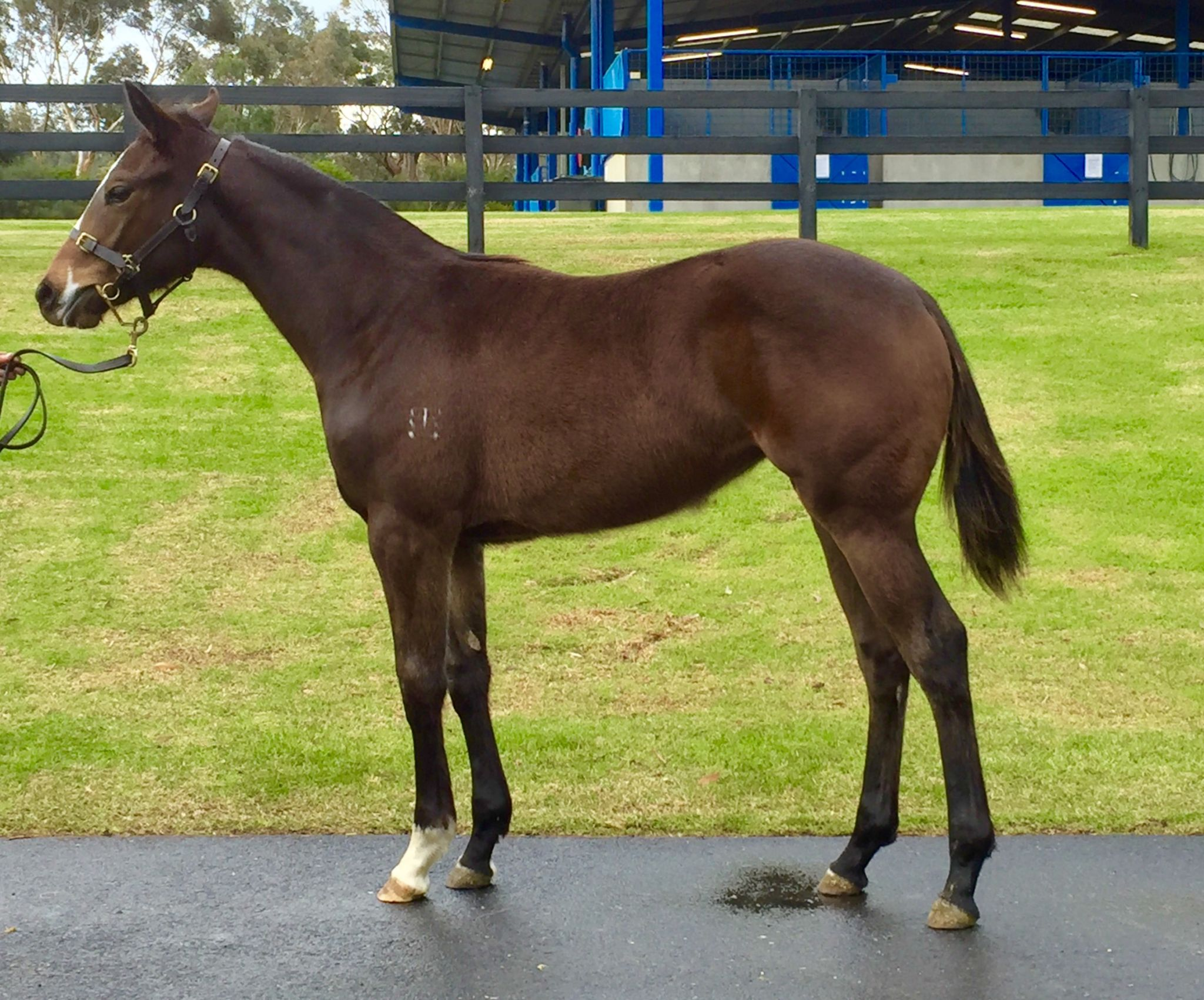 Inglis 2016 Great Southern Sale Home Andrew Smith Dusty Blue Jeans Biru 33 255 B Br Filly