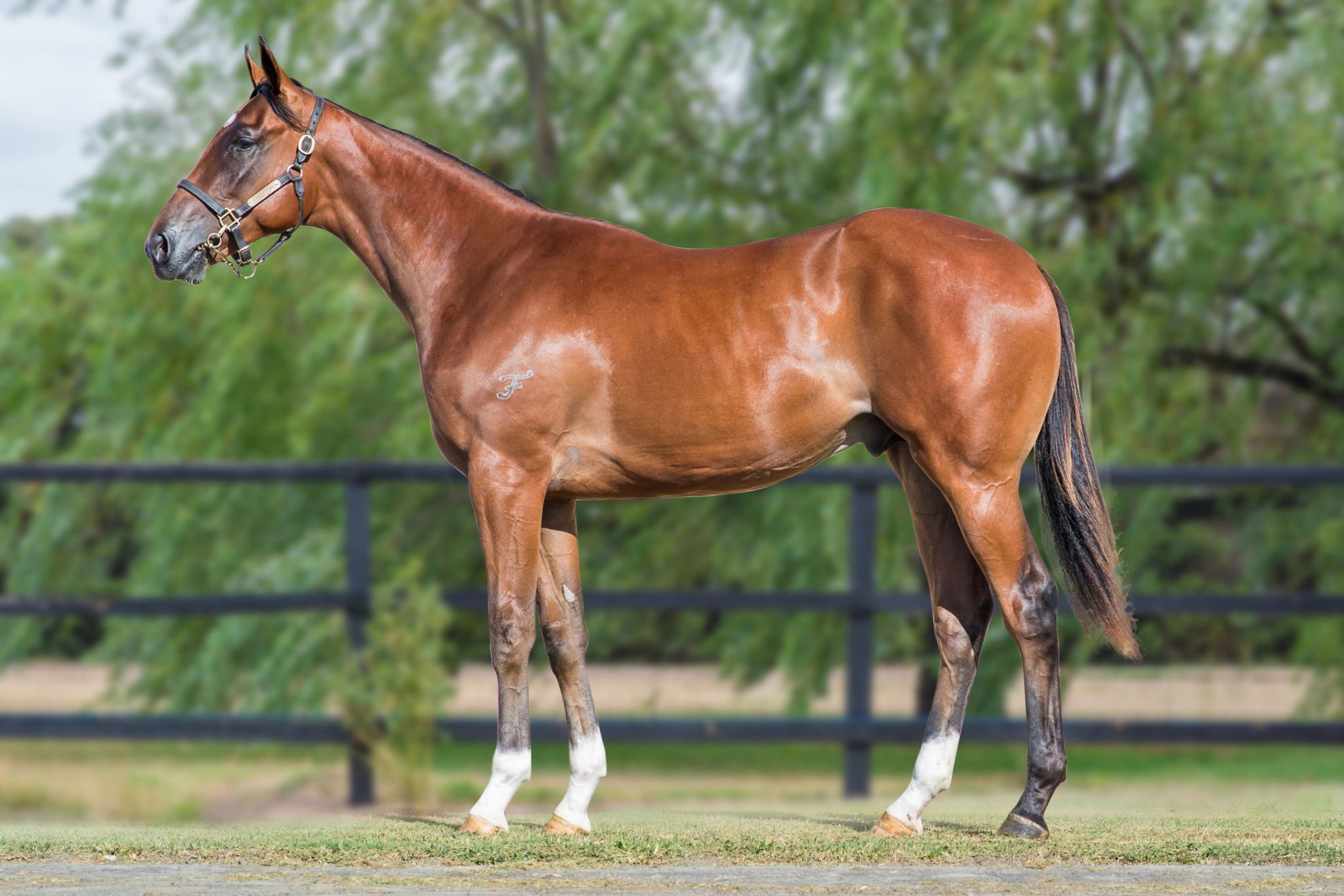 Inglis - 2019 Melbourne Premier Yearling Sale - Lot 773, Toronado