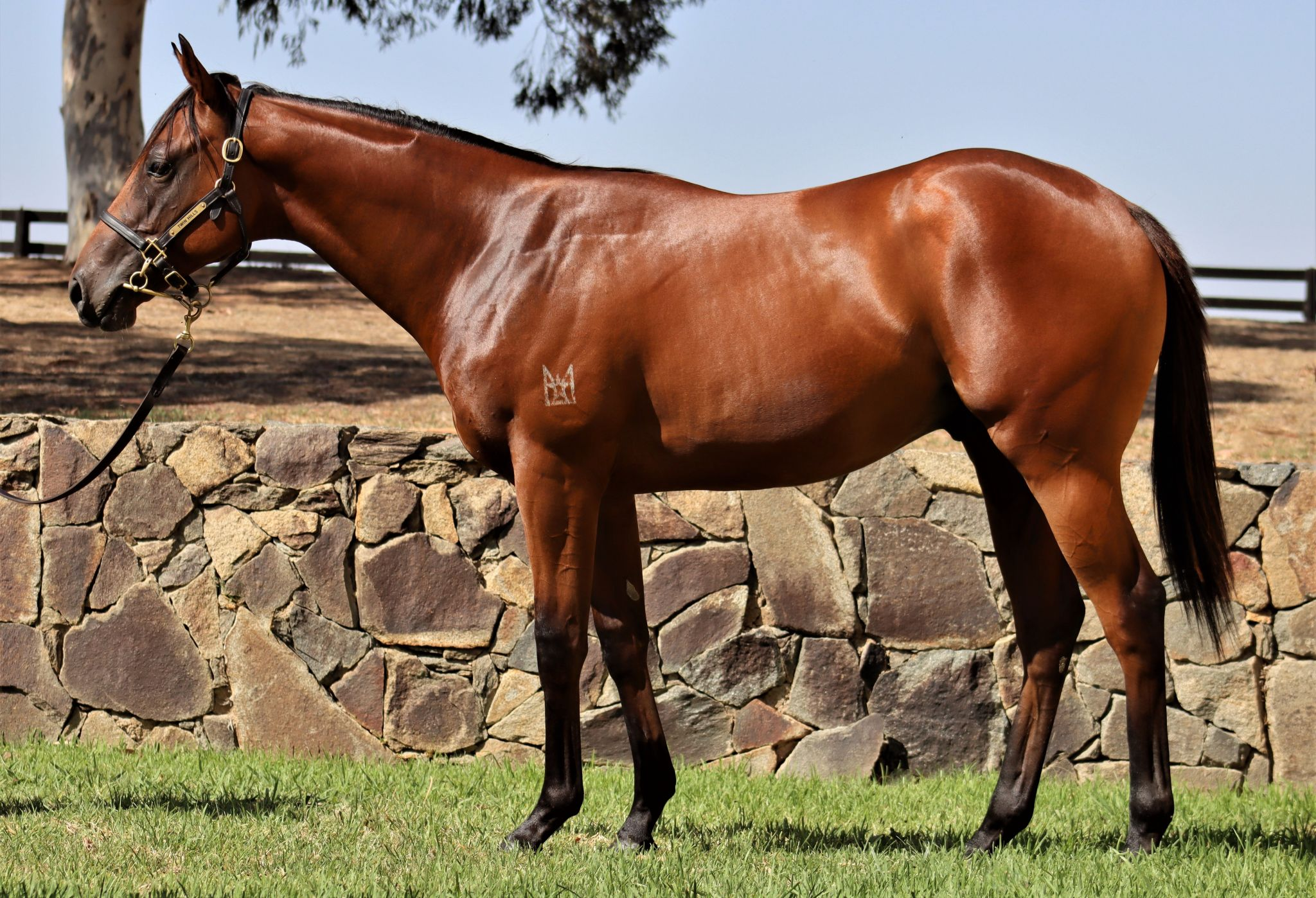 Inglis 2020 Classic Yearling Sale Lot 157, Headwater x